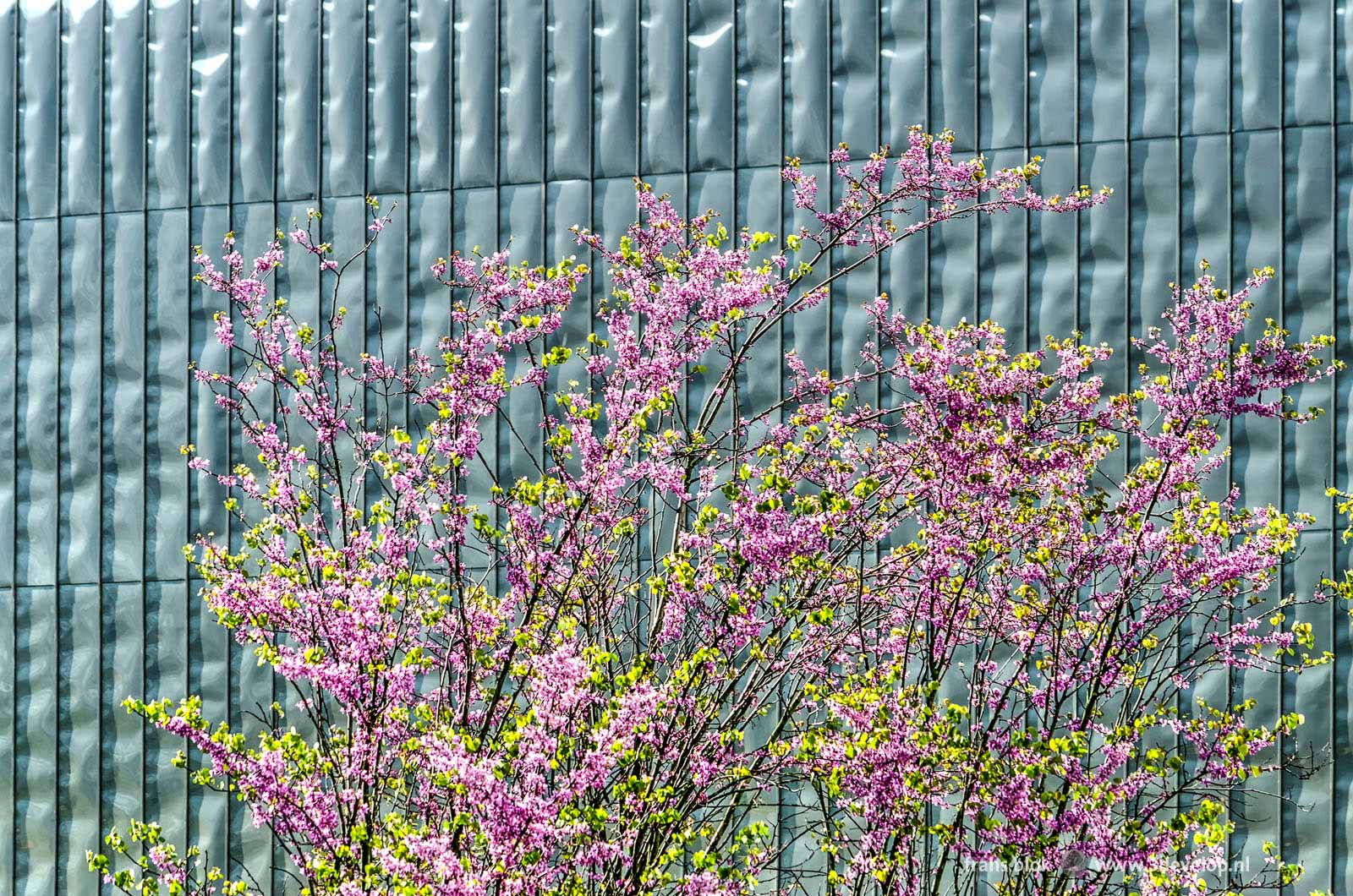 Judasbomen, of eigenlijk meer -struiken, in bloei in de lente met op de achtergrond de roestvrijstalen gevel van het Centraal Station in Rotterdam