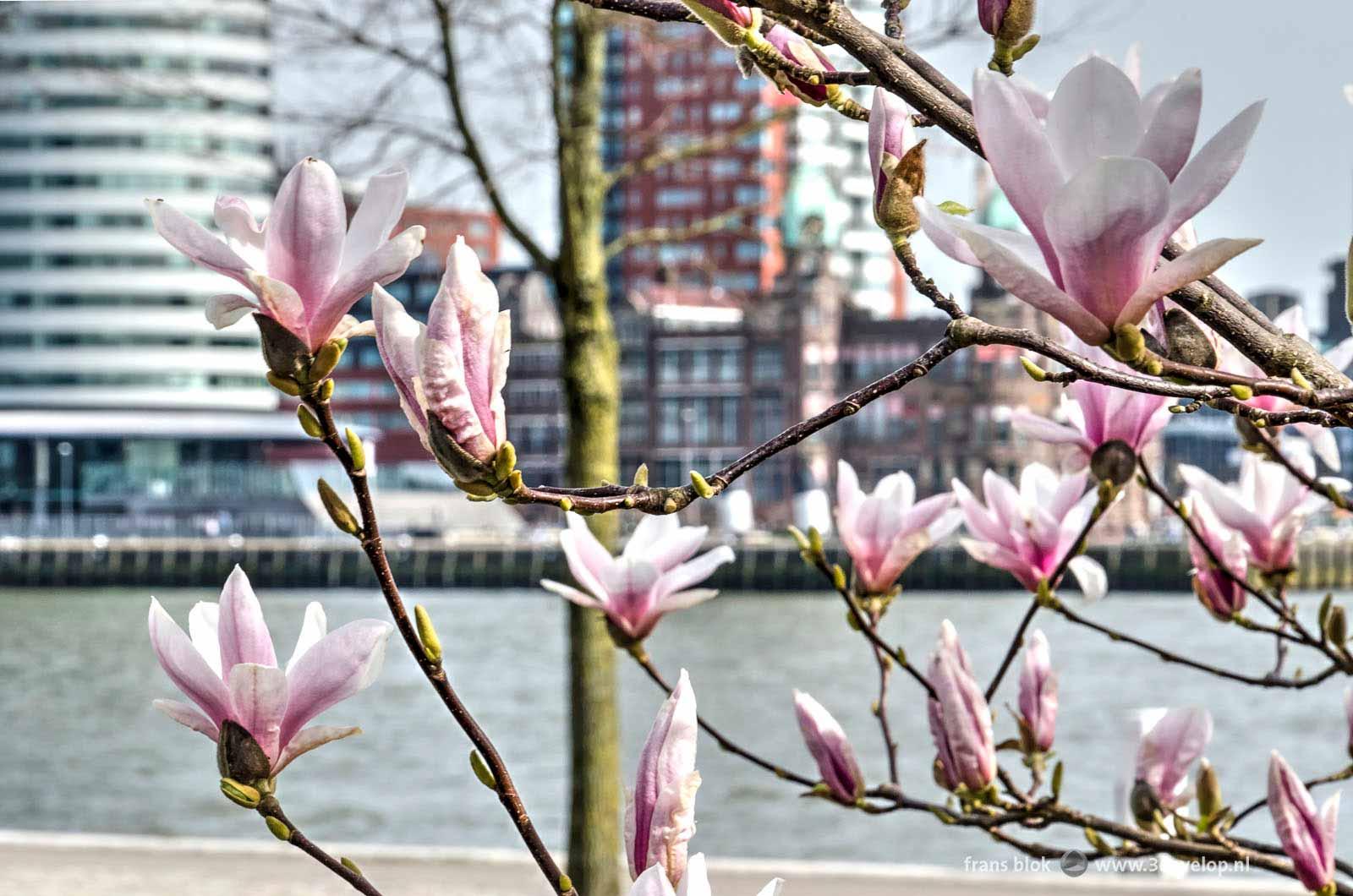 Close-up van de bloemen van een magnolia in de lente, op de Willemskade in Rotterdam, met op de achtergrond de Nieuwe Maas, en de Wilhelminapier met o.a. Hotel New York