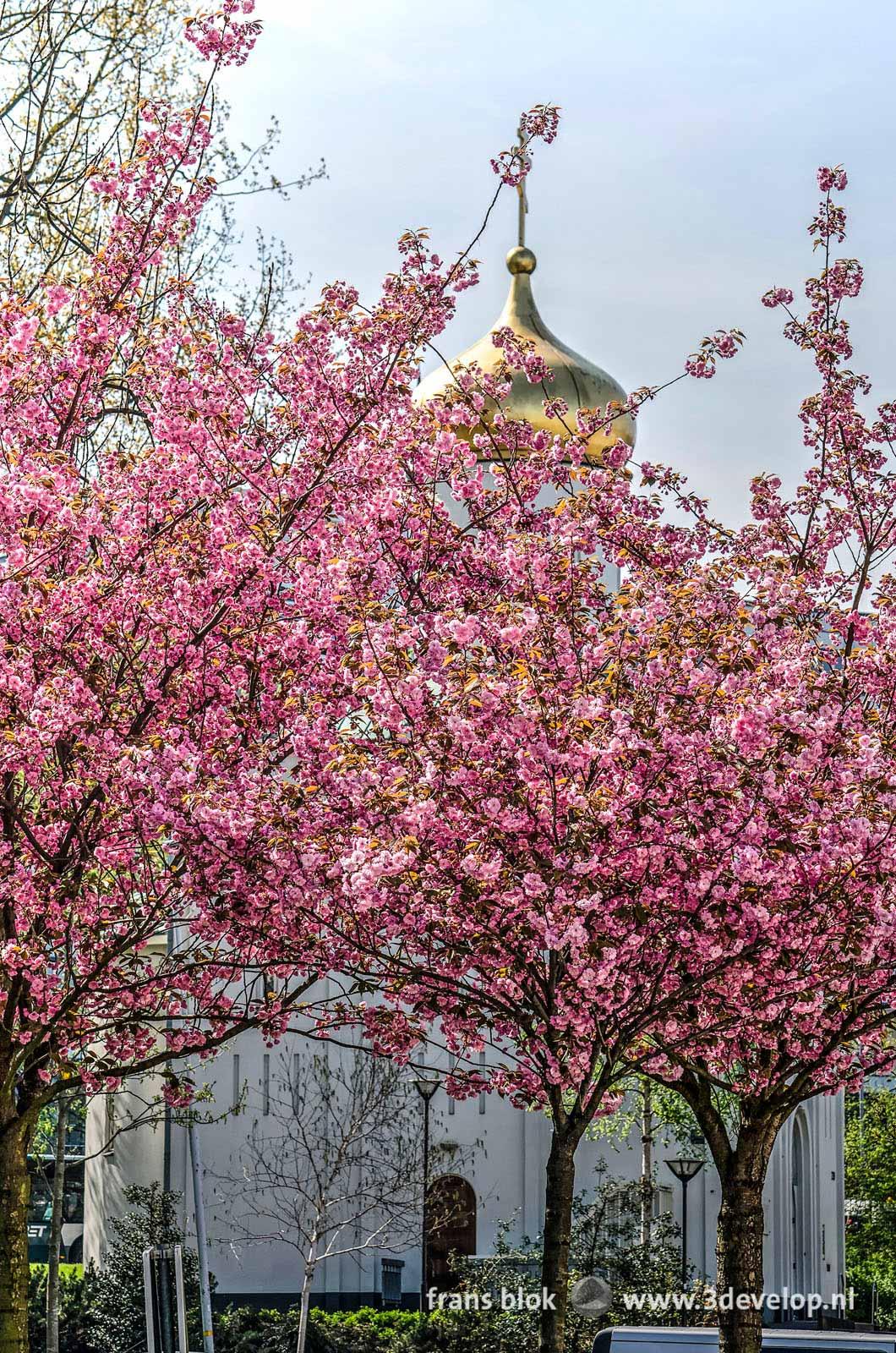 Prunussen in bloei in de lente bij de Russische kerk aan het Vasteland in Rotterdam