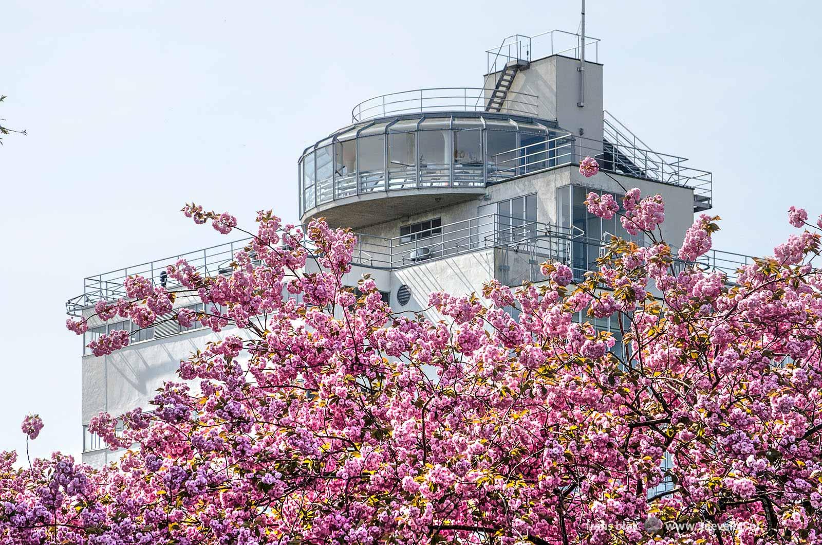Een prunus, ook wel Japanse kers genaamd, in bloei in de lente bij de Van Nellefabriek in Rotterdam