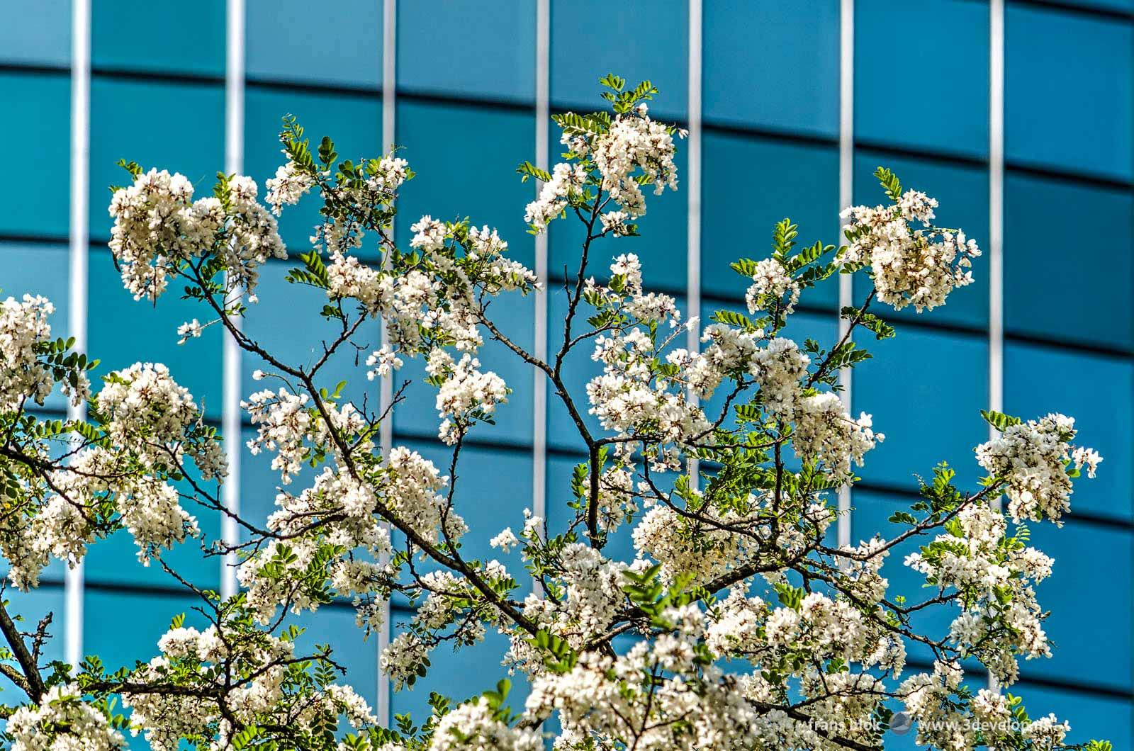 Een robinia pseudoacacia in bloei in de lente, met op de achtergrond de glazen gevel van het World Trade Center in Rotterdam