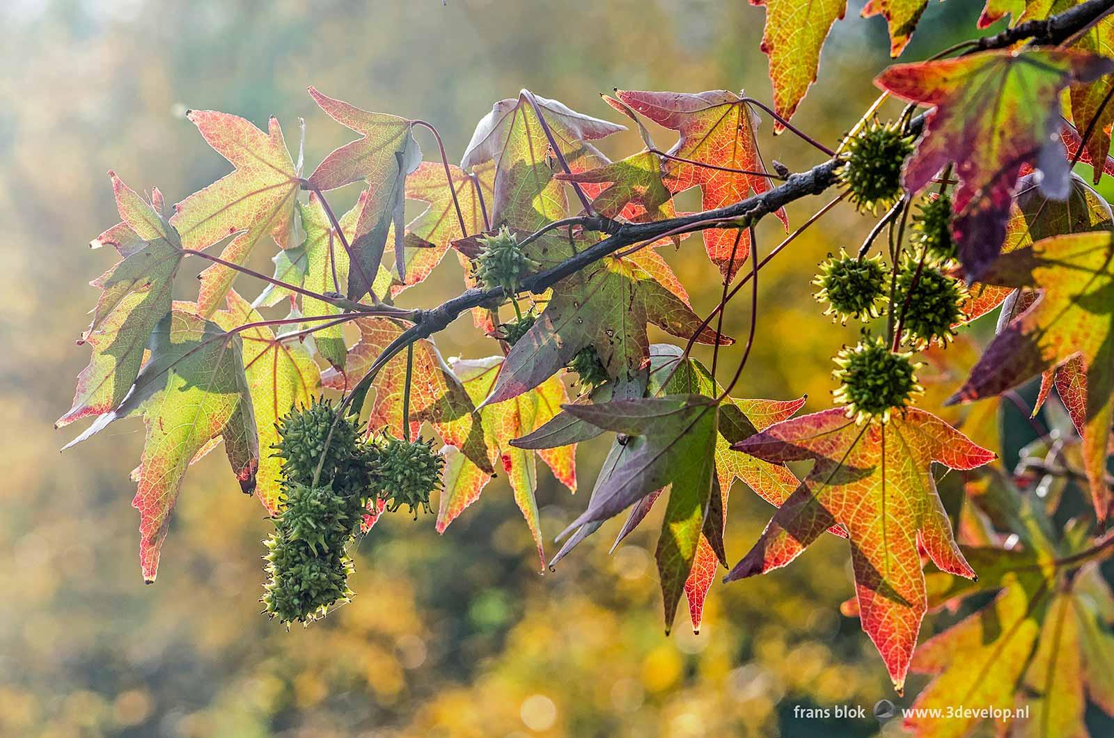 Sprookjesachtig beeld van de bladeren en vruchten van een amberboom (liquidambar styraciflua) in de herfst
