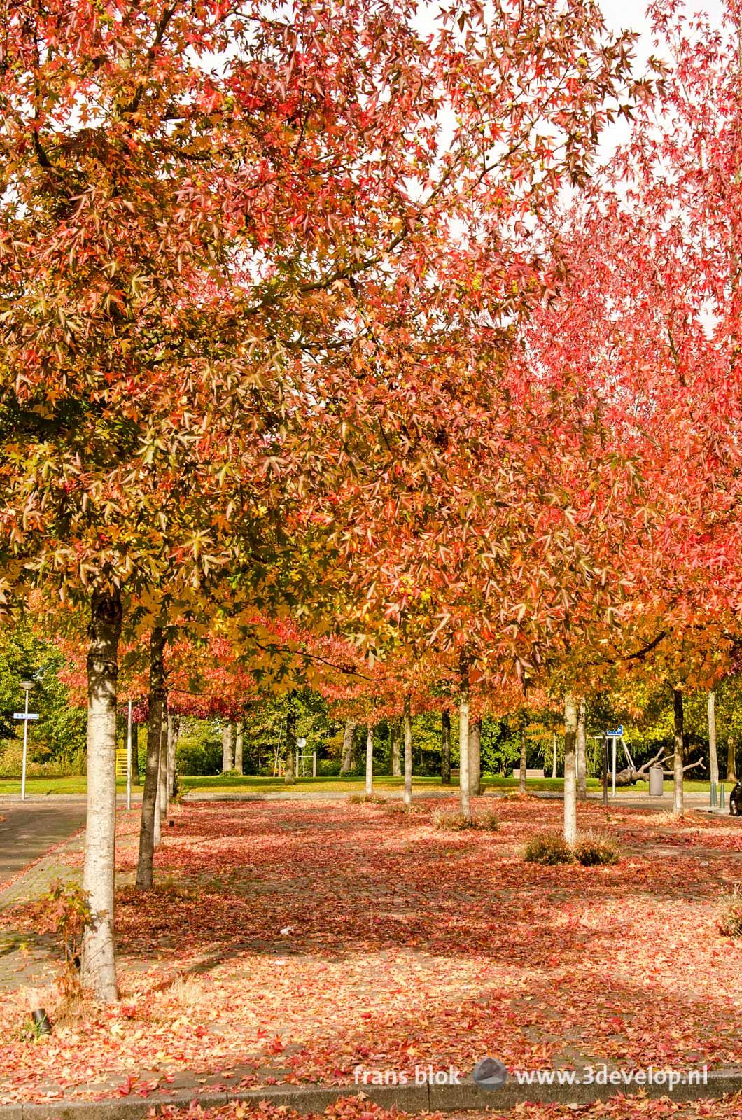 Drie rijen amberbomen (liquidambar styraciflua) in de herfst, op het G.W. Burgerplein in Rotterdam-West