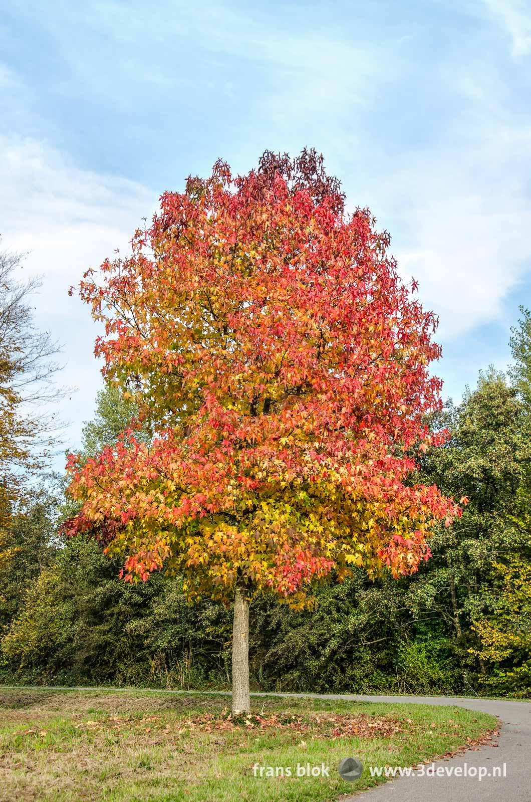 Een amberboom (liquidambar styraciflua) in de herfst, in een bocht van een fietspad in het Zuidelijk Randpark in Rotterdam