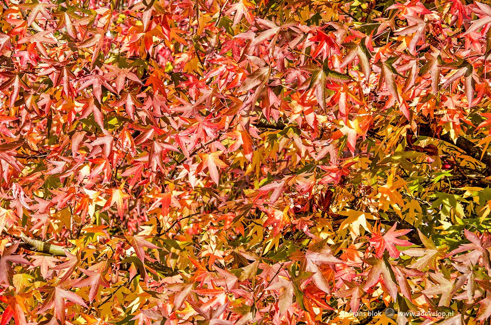 Bijna abstract en veelkleurig beeld van de bladeren van een amberboom (liquidambar styraciflua) in de herfst