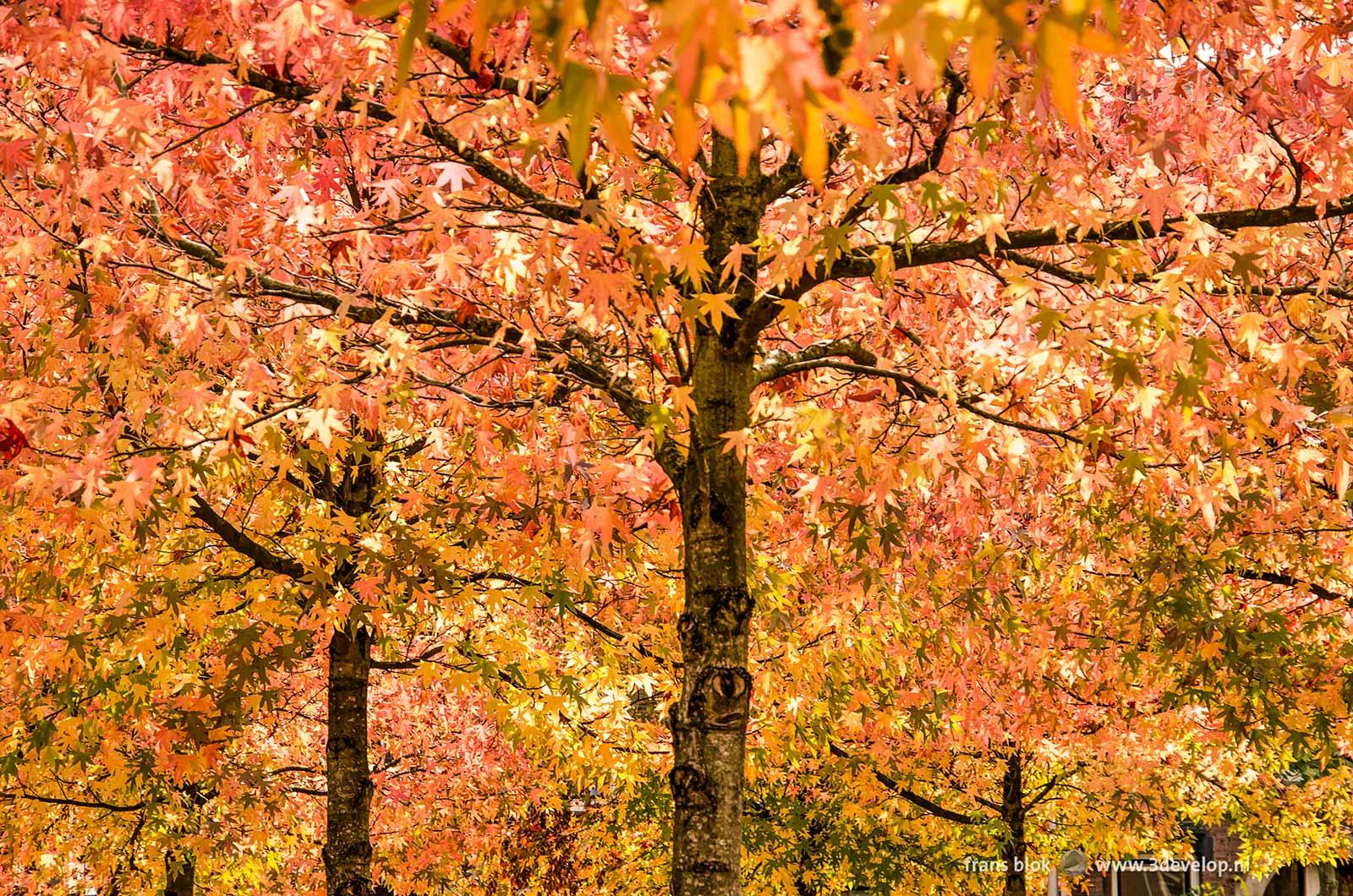 Overweldigende kleurenpracht in het gebladerte van een aantal amberbomen (liquidambar styraciflua) in de herfst