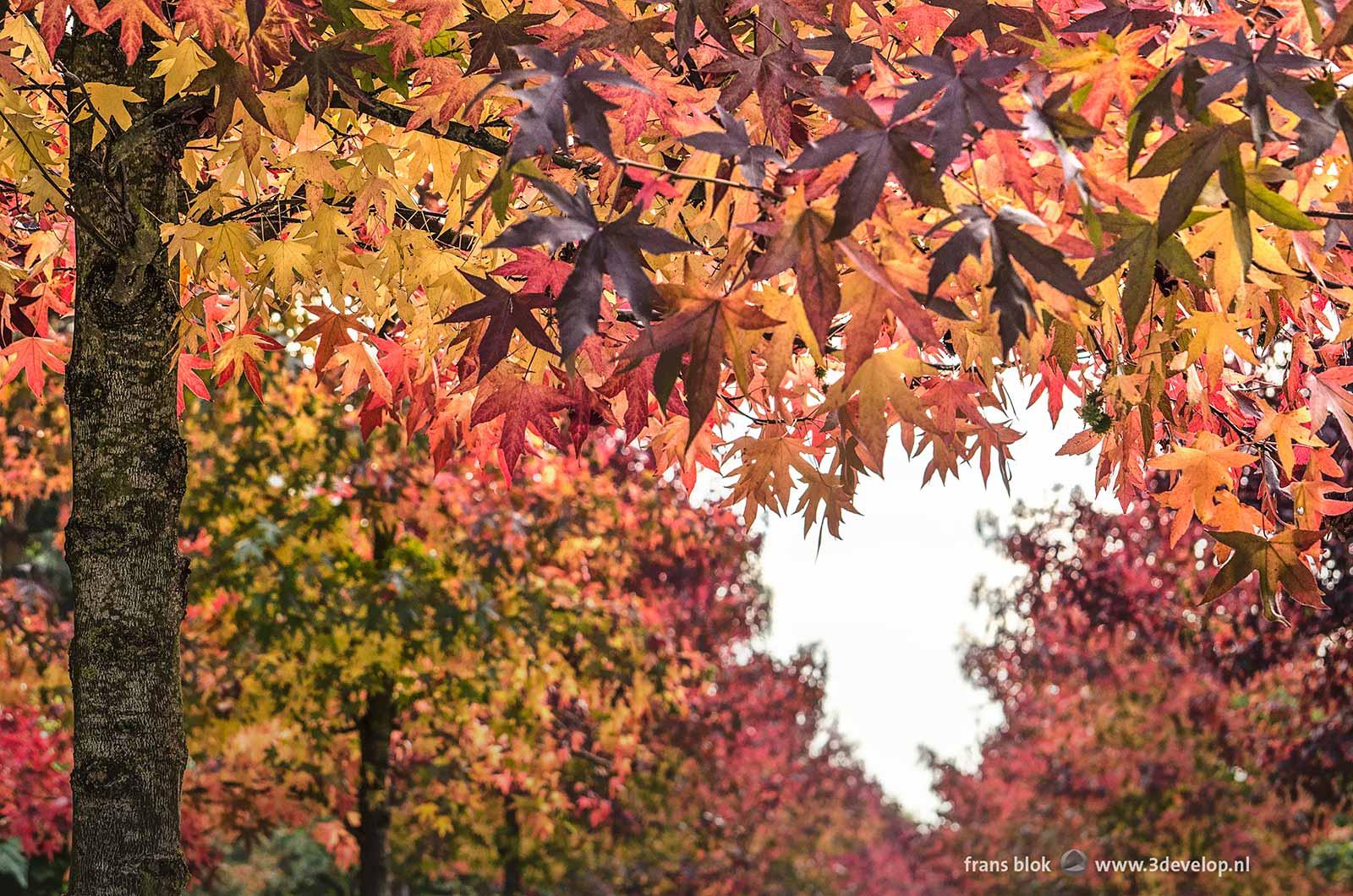 Het bladerdek van twee rijen amberbomen (liquidambar styraciflua) in de herfst, aan weerszijden van een straat in Kralingen, Rotterdam, met de lucht als een hartvormige uitsparing