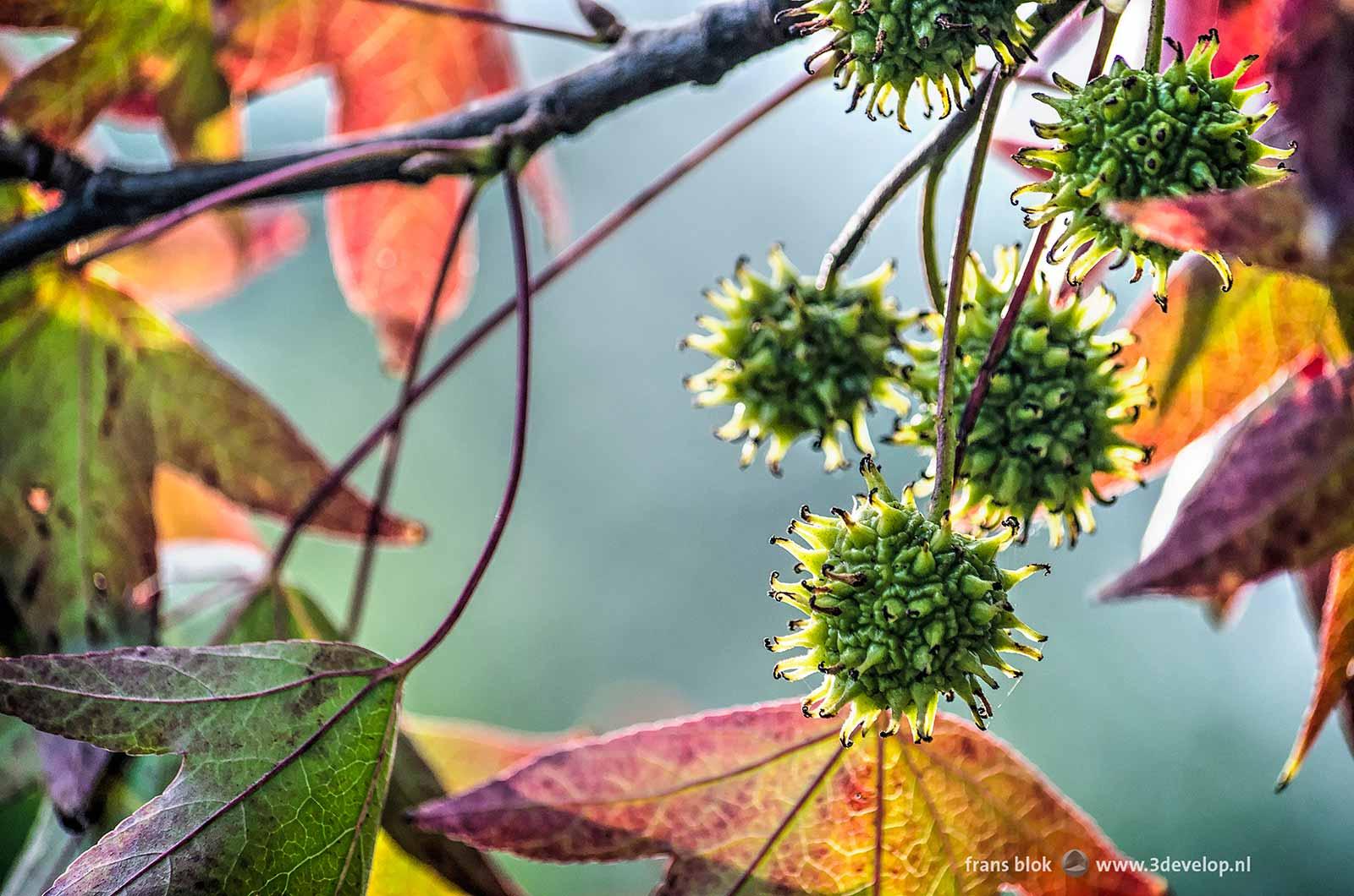 Close-up van de stekelige groene vruchtbolletjes van de amberboom (liquidambar styraciflua) in de herfst