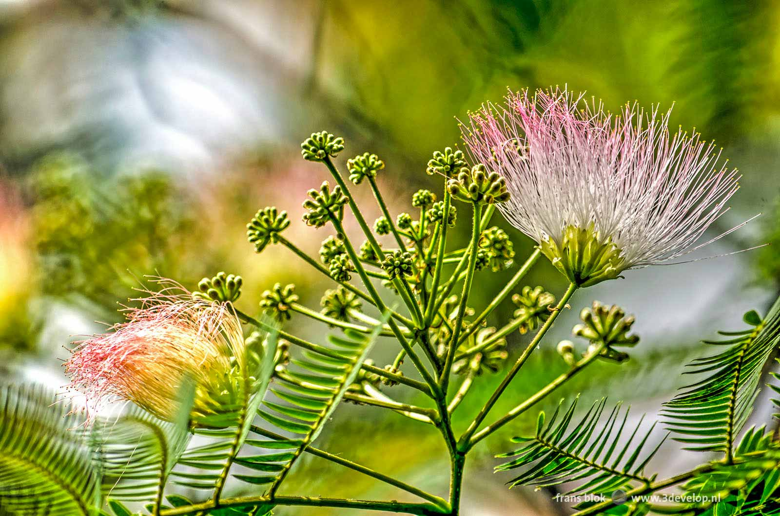 Detail photo of the flowers of an albizia julibrissin, a Persian silk tree