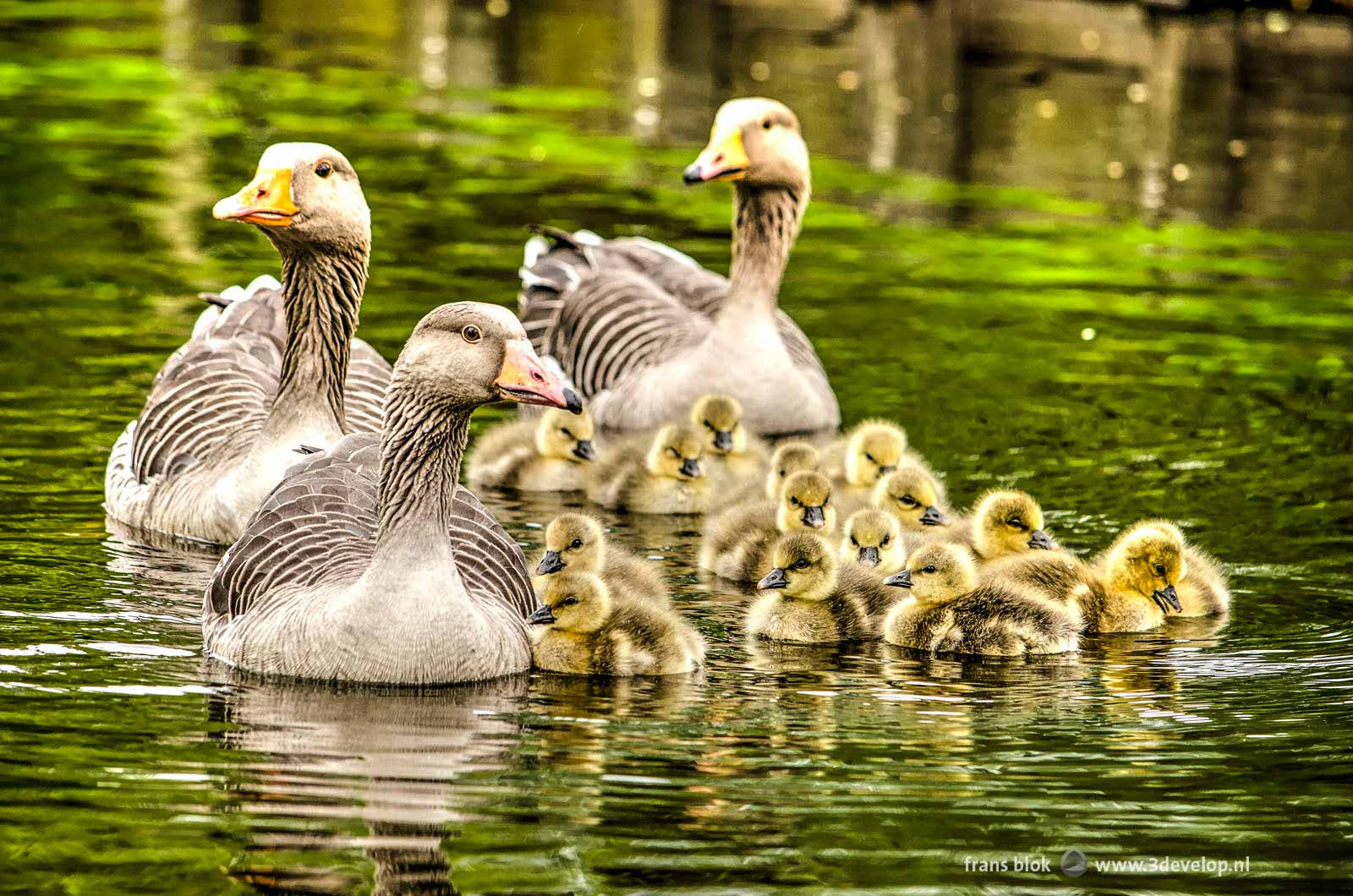 A class of geese, three adults and fifteen kids, in springtime in a canal in Kralingen, Rotterdam