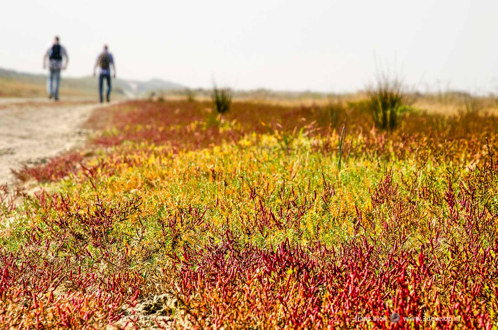 Field of salicornia in the rasta colors red, green and yellow at the beach in nature reserve Kwade Hoek on the island of Goeree-Overflakkee, with two hikers in the background