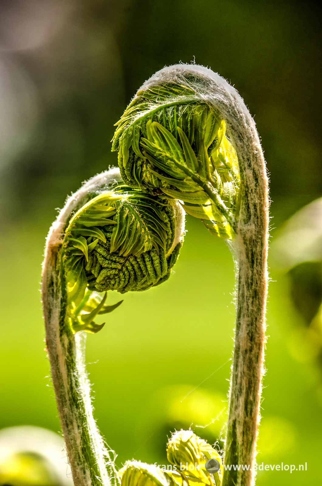 Two young ferns in springtime, caressing each other like a loving couple