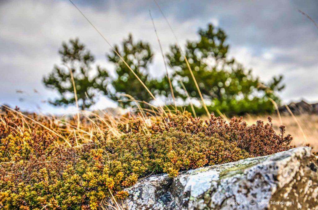 Verschillende kleuren sedum, droog gras, een rots en op de achtergrond een paar kleine dennen in een lavaveld in IJsland