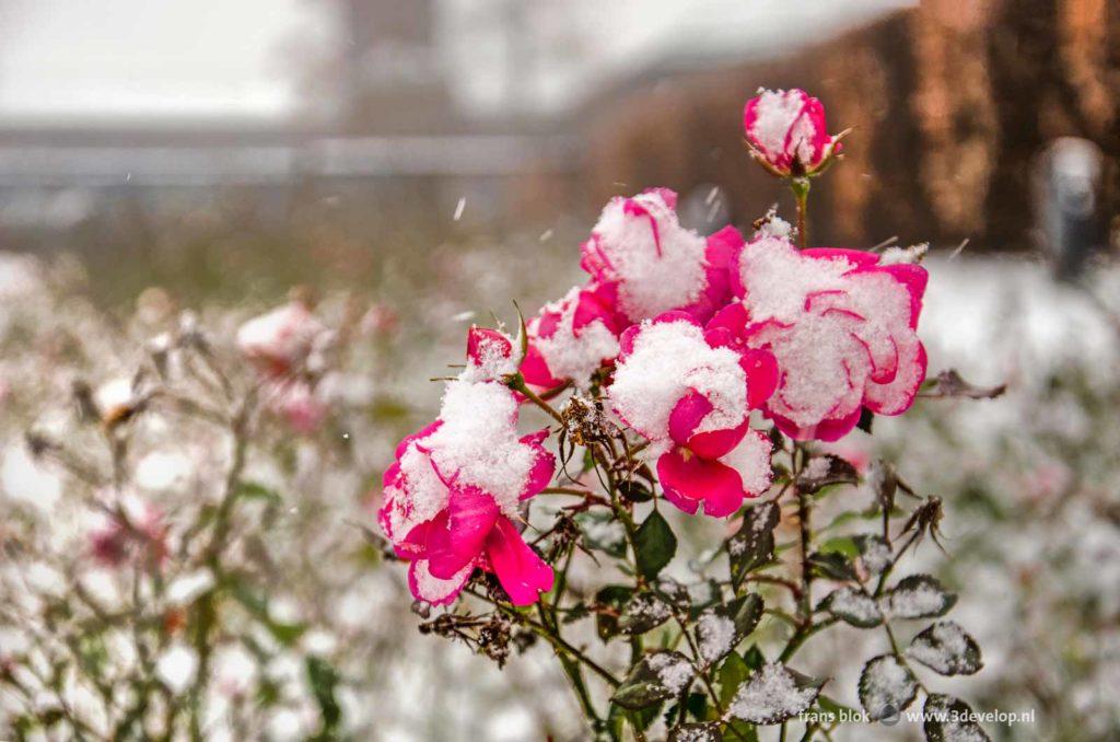 Een gedeeltelijk met sneeuw bedekte rode roos in de Rozentuin in het Museumpark achter museum Boymans in Rotterdam