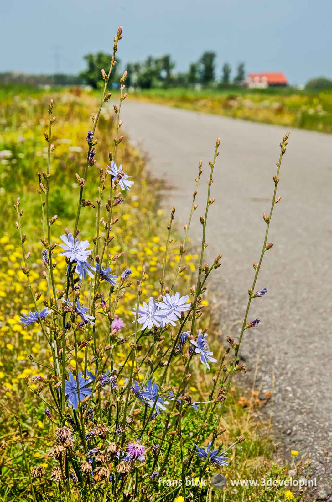 Chicory along the side of the road in the Noordwaard region in the Biesbosch national park in the Netherlands
