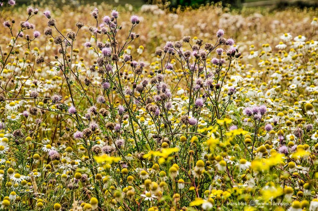 Daisies and other wild flowers in the colors white, yellow and purple along the Reevediep canal near Kampen, The Netherlands