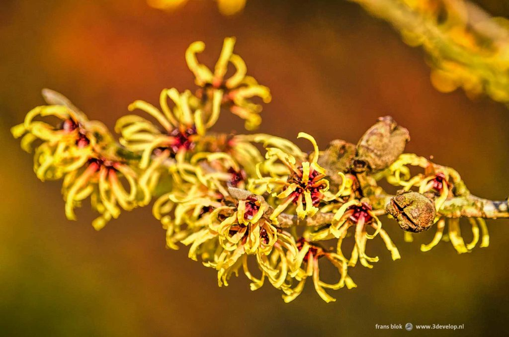 Close-up of the yellow flowers of a hamamelis, or withch hazel, in bloom in january