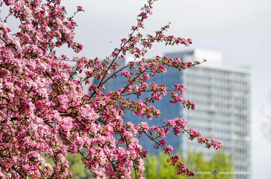 Uitbundige roze bloesem bij het Drooglever Fortuynplein in Rotterdam met op de achtergrond gebouw De Rotterdam op de Kop van Zuid