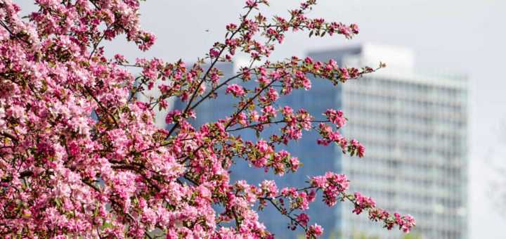 Pink blossoms of a prunus tree at Droogleever Fortuynplein in Rotterdam with in the background De Rotterdam building by Rem Koolhaas