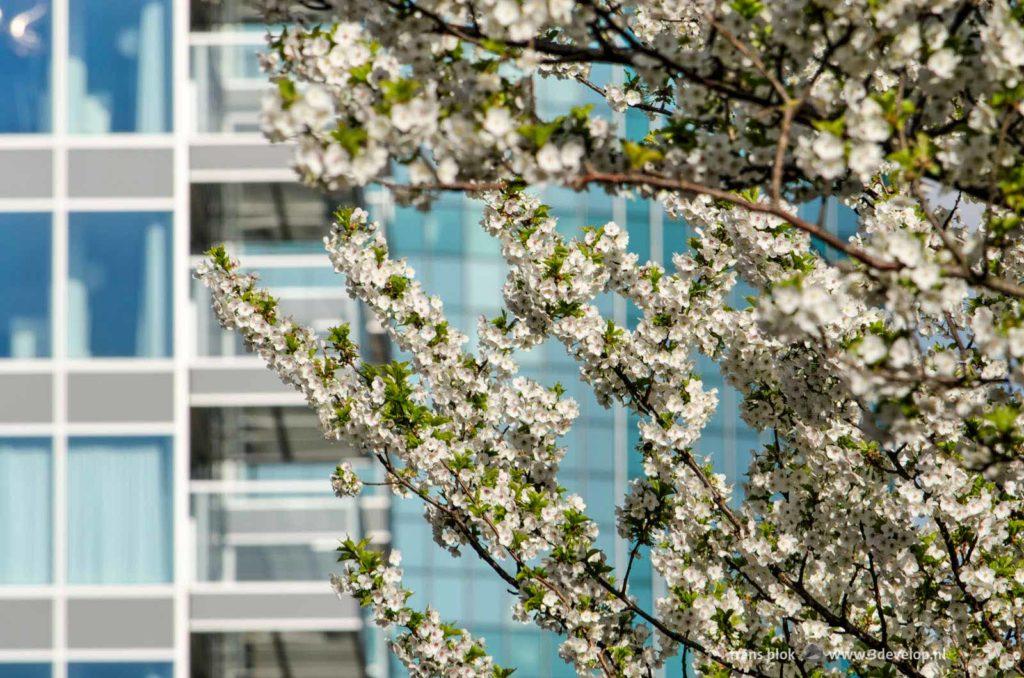 Witte bloesems op de Van Oldenbarneveltplaats bij de Lijnbaan in het centrum van Rotterdam