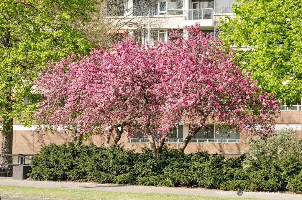 Bloeiende prunussen aan de Maasboulevard in Rotterdam in de lente