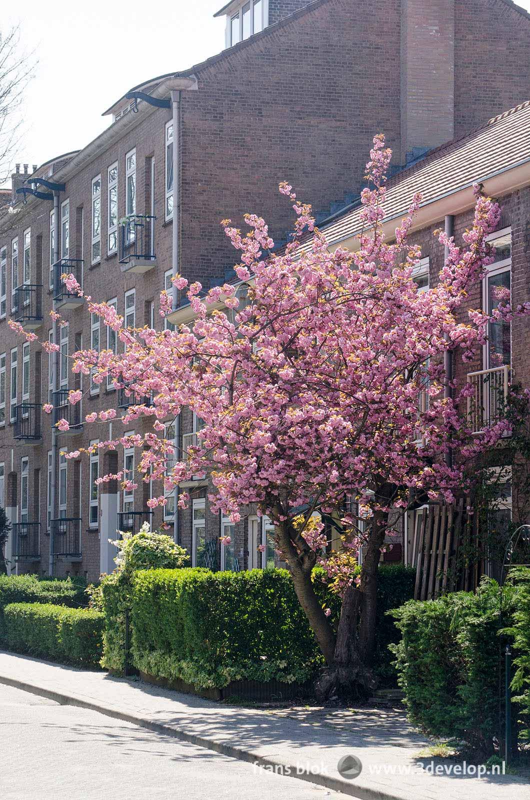 Bloeiende prunus in de Johan de Meesterstraat bij de Warande in Rotterdam in de lente