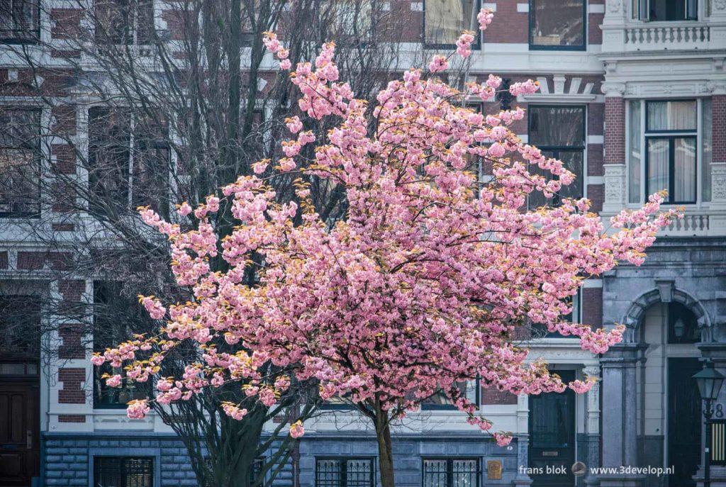 Roze bloeiende prunus aan het Koningin Emmaplein in Rotterdam in de lente