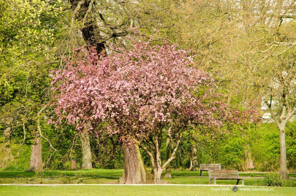 Bloeiende prunus in Het Park bij de Euromast in Rotterdam