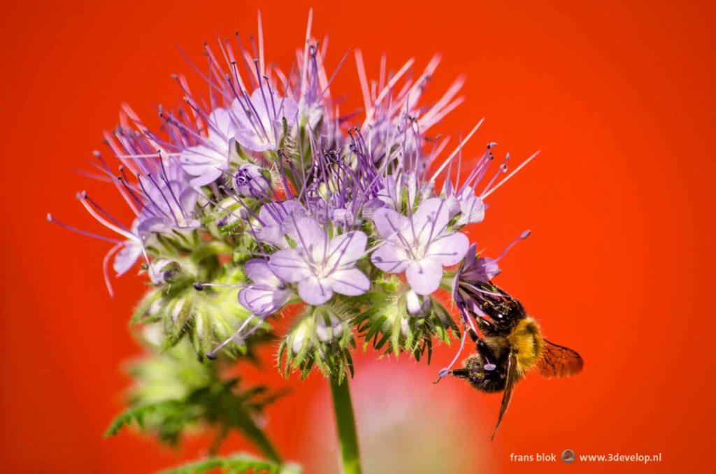 Een bij oogst nectar uit een phaceliabloem op een stadsbalkon