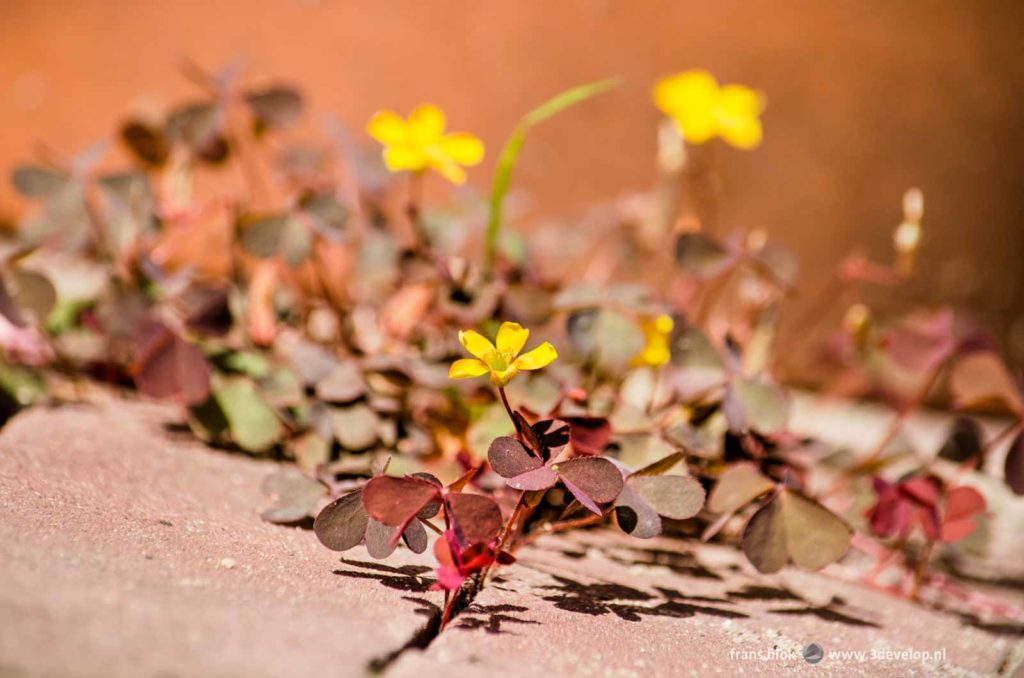 Close-up of creeping woodsorrel (Oxalis corniculata) growing among the pavement bricks in an urban front yard
