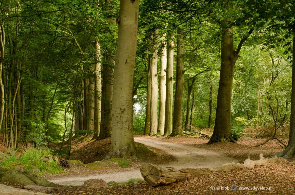 Dirt road through a green forest in summer near Dalfsen, Overijssel, The Netherlands