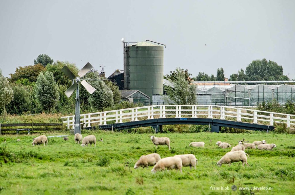 Nature and recreation area Groenzoom in Lansingerland, The Netherlands, with sheep, a pedestrianb bridge, a windmill and greenhouses